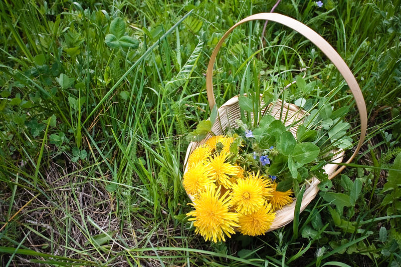 Basket with dandelions on the grass stock images