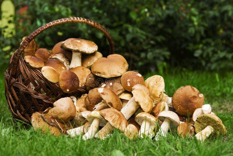 Basket with edible mushrooms. royalty free stock photo