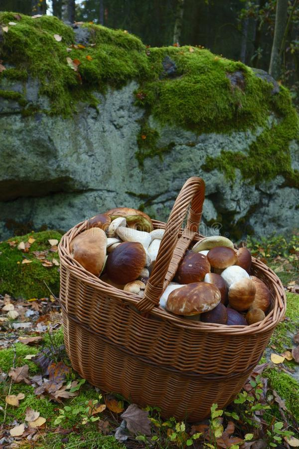 Freshly picked mushrooms royalty free stock photo