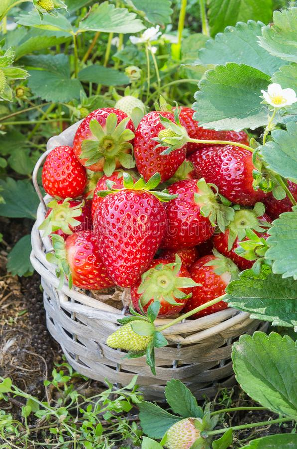 Basket of freshly picked strawberries from the garden. Basket of freshly picked strawberries royalty free stock photo
