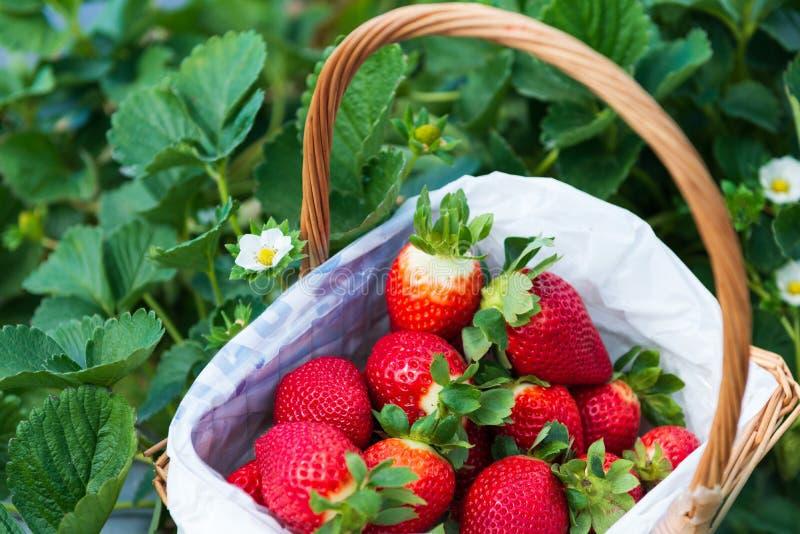Basket of freshly picked strawberries royalty free stock photos