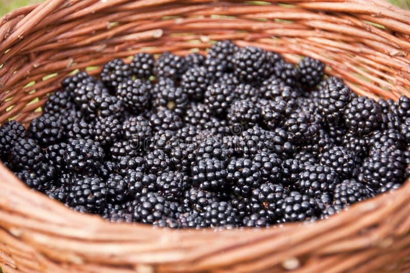 Basket full of blackberries stock image