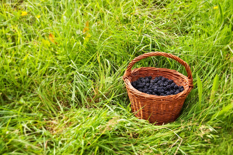 Basket full of blackberries royalty free stock image