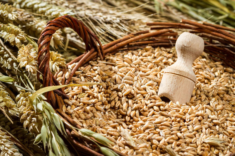 Basket full of grain with ears royalty free stock image