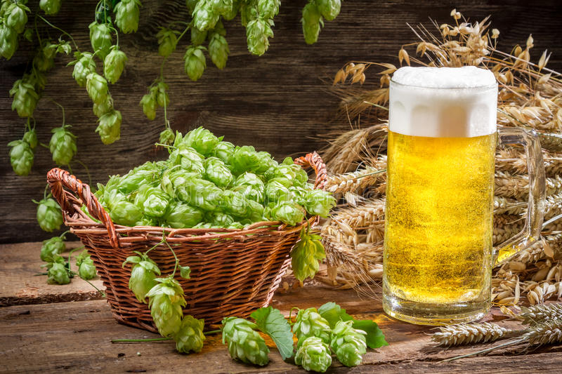 Basket full of hops and a cold beer royalty free stock image