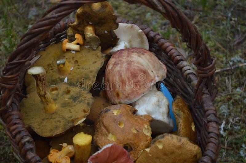 Basket full of mushrooms royalty free stock photo
