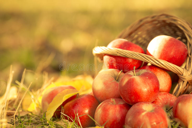 Download Basket Full Of Red Juicy Apples Stock Photo - Image of autumn, natural: 33623722