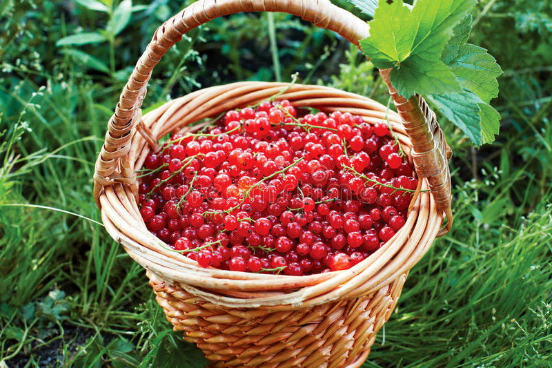 Basket full of ripe red currant stands in the garden on the gras. S. Summer royalty free stock photo