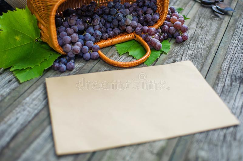 Basket with grapes beside secateurs on vintage rustic wooden table. Closeup Old paper template in centre wine making. Mock up royalty free stock images