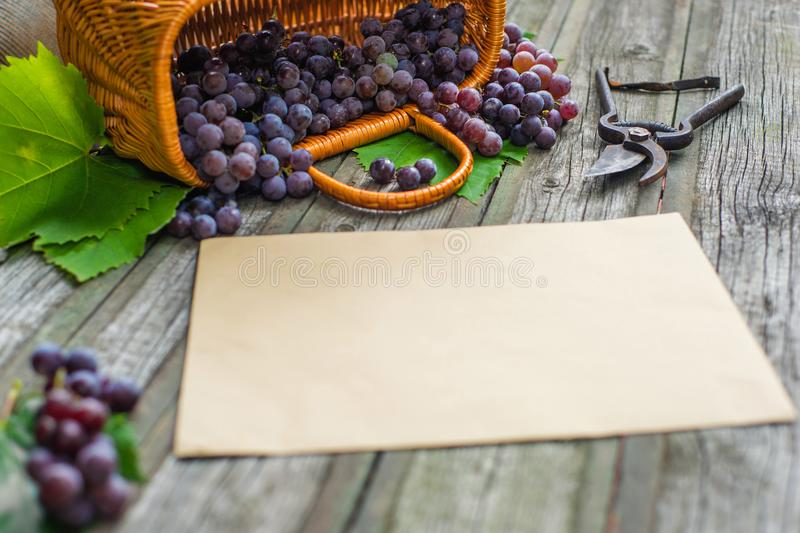 Basket with grapes beside secateurs on vintage rustic wooden table. Old horizontal paper template in centre wine making. Mock up royalty free stock photos