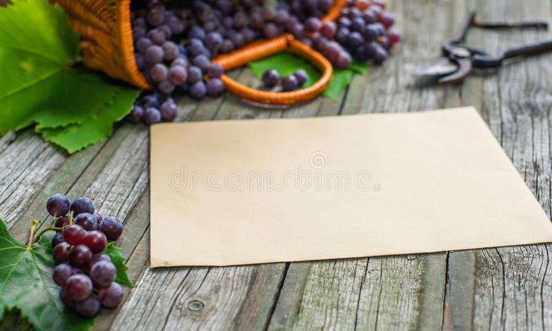 Basket with grapes beside secateurs on vintage rustic wooden table. Old paper template in centre wine making. Mock up royalty free stock photo