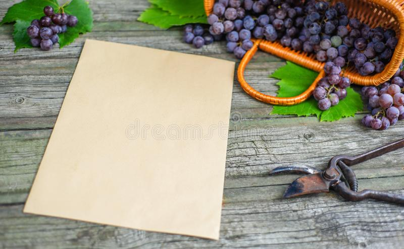 Basket with grapes beside secateurs on vintage rustic wooden table. Top view. Old vertical paper template in centre wine making. Mock up royalty free stock image