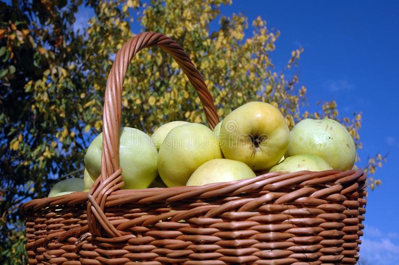 Basket of green apples royalty free stock photo
