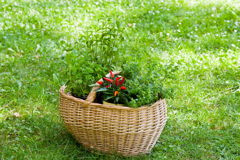Download Basket with herbs stock image. Image of green, flavoring - 27393931