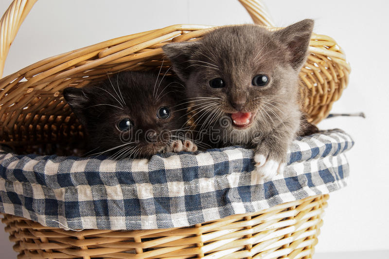 Basket of kittens stock photography