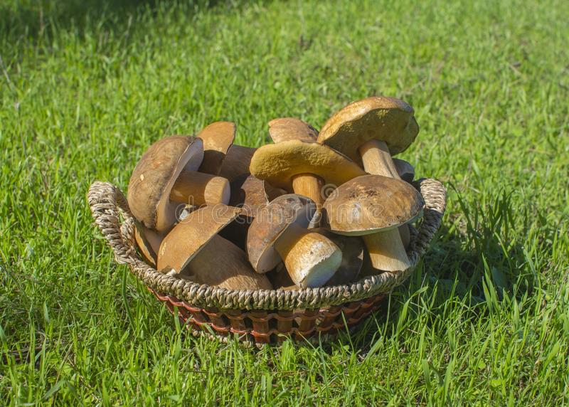Mushrooms. Cepe mushroom basket royalty free stock photo
