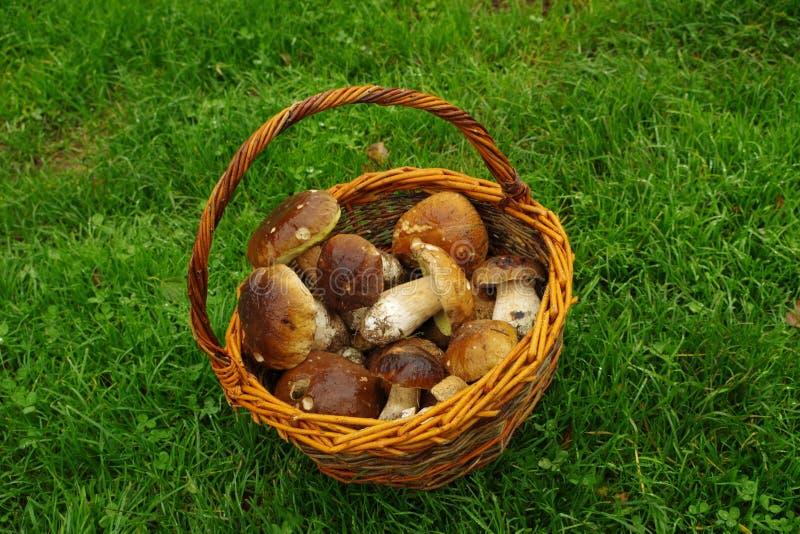Basket of mushrooms boletus royalty free stock photo