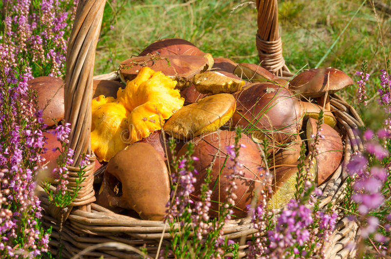 Basket with mushrooms. A basket with fresh mushrooms stock photo