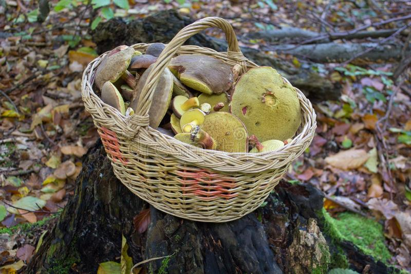 Basket of mushrooms on the stump,the mushroom season began, the mushrooms are picked up in a basket in the woods. The mushroom season began, the mushrooms are stock photography