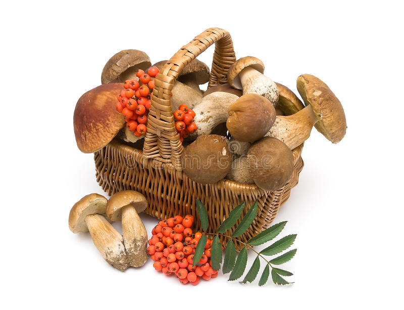 Basket with mushrooms on a white background. Basket with mushrooms and red berries of a mountain ash on a white background. horizontal photo royalty free stock image