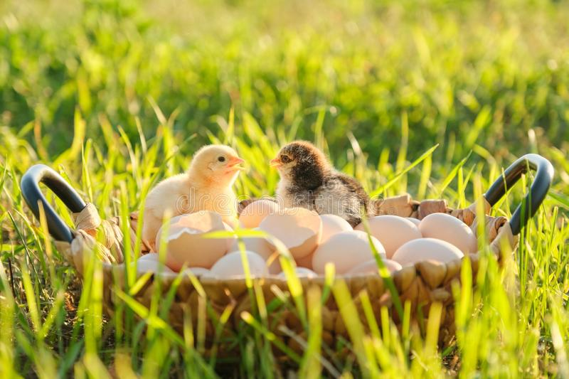 Basket with natural fresh organic eggs with two little newborn baby chickens, grass nature background. Golden hour, country rustic style royalty free stock images