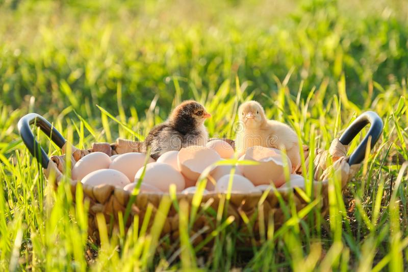 Basket with natural fresh organic eggs with two little newborn baby chickens, grass nature background stock photography