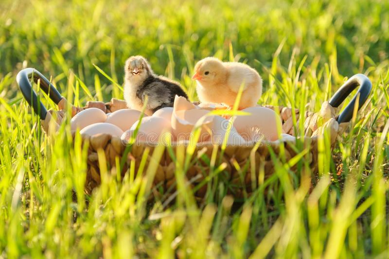 Basket with natural fresh organic eggs with two little newborn baby chickens, grass nature background royalty free stock images