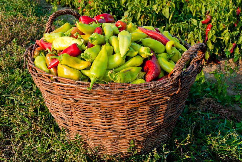 A Basket of Paprikas royalty free stock photos