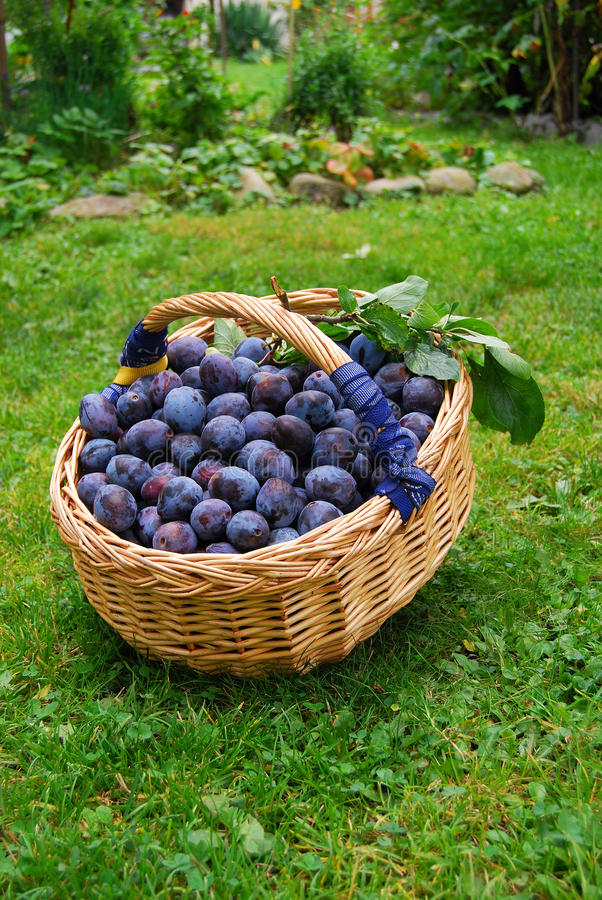 Basket of plums. Full basket of plums on grass royalty free stock photography