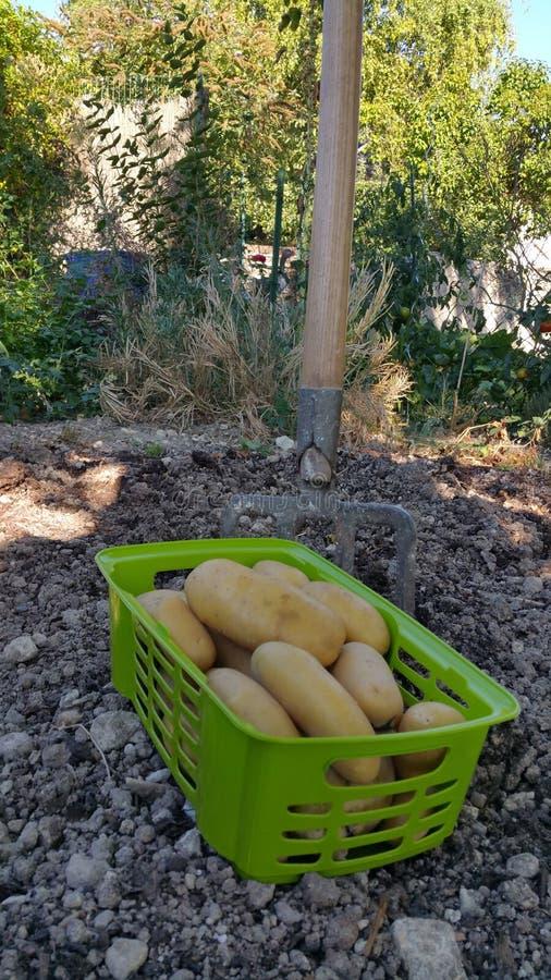 Basket of potatoes stock image
