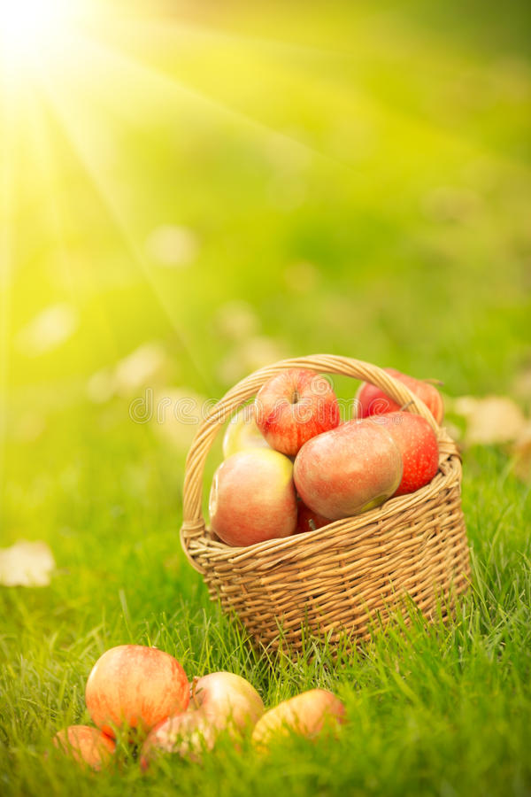 Basket With Red Apples In Autumn Royalty Free Stock Photos