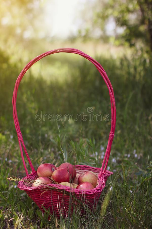 A basket with red apples in the green grass in summer afternoon. Basket with red apples in the green grass in summer afternoon stock image