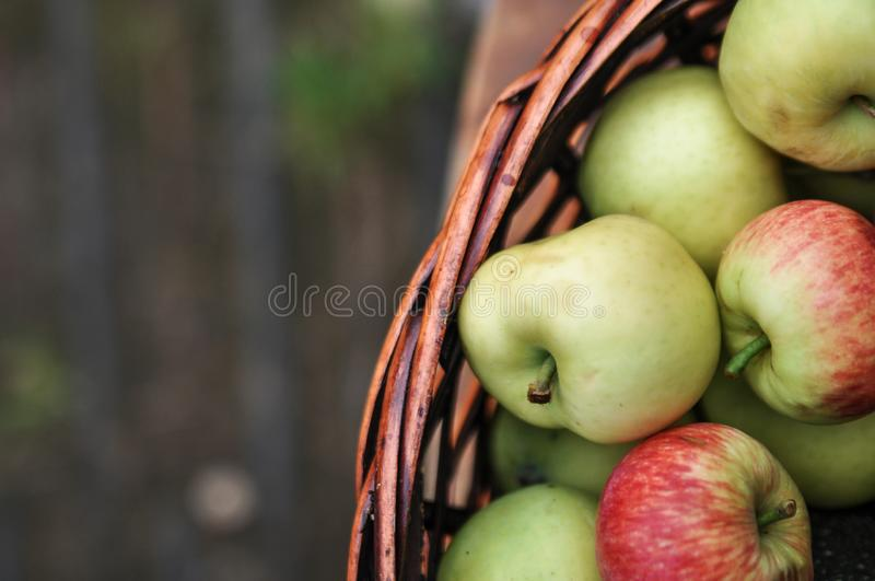 Basket with ripe fresh apples on an old chair. Harvest stock photos
