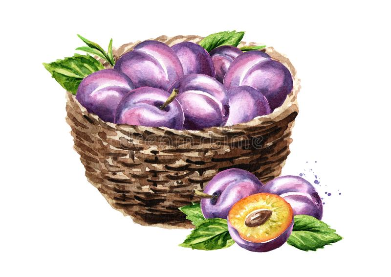 Basket with ripe plums. Watercolor hand drawn illustration, isolated on white background. stock illustration