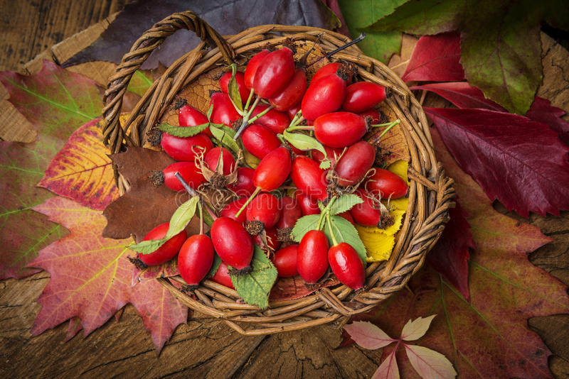 Basket with rose hips. A basket with fresh rose hips stock photography