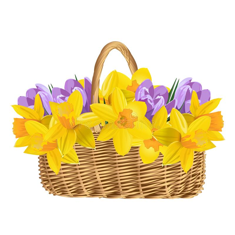 Basket with spring flowers isolated on white background. Wicker basket with crocuses and daffodils. vector illustration