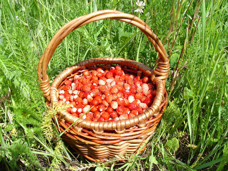 Basket of strawberries. On the background of green grass stock photo