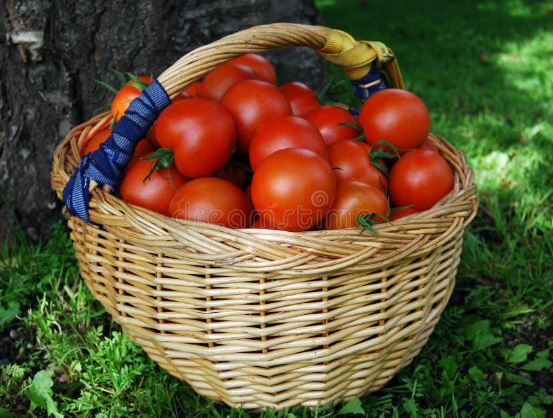 Basket of tomatoes stock photo