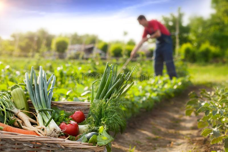 Basket with vegetable and farmer in background. Basket with organic vegetable and farmer working in background stock photo