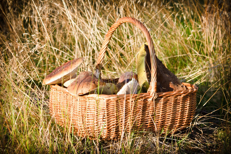 Basket with wild mushrooms royalty free stock image
