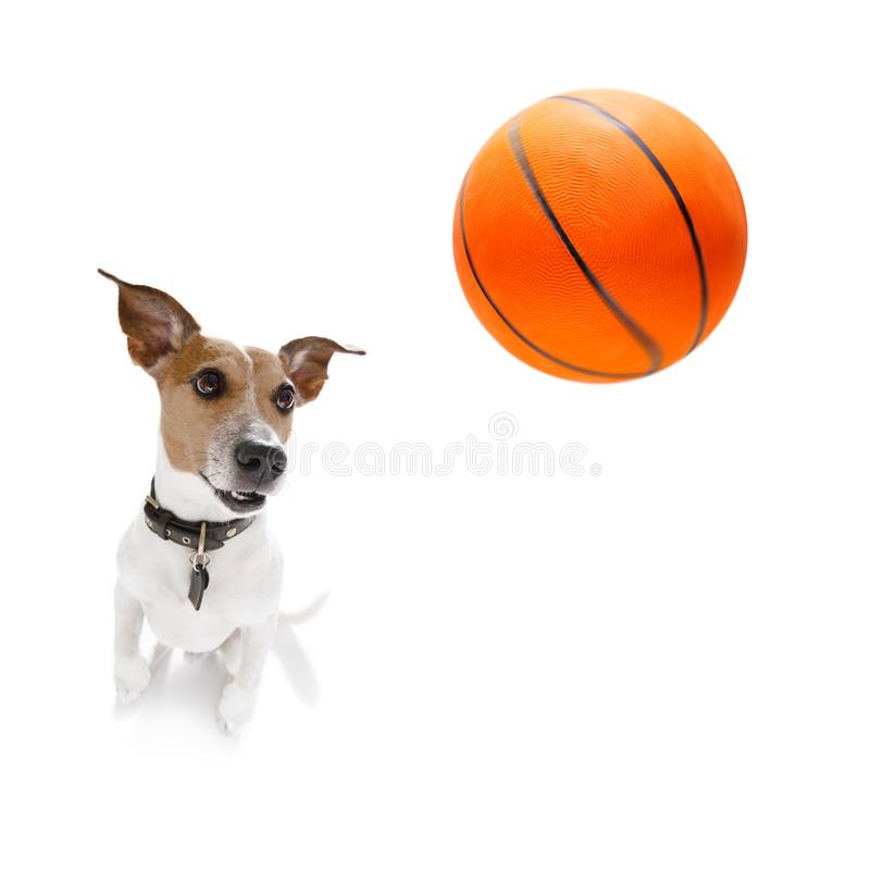 Basketball jack russell dog royalty free stock photography