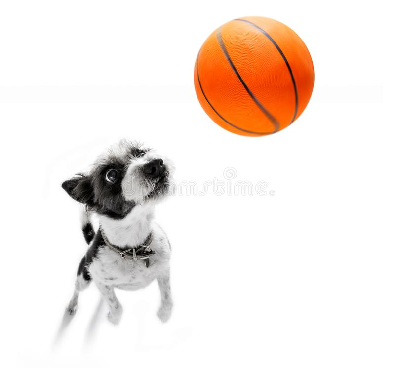 Basketball poodle dog. Playing with ball , isolated on white background, wide angle fisheye view stock photos