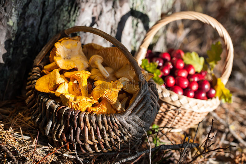 Baskets of red wild cranberries and chanterelles. In the forest royalty free stock photography