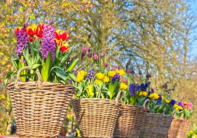 Baskets of tulips an hyacinthus. Line of baskets of colorful tulips nad Hyacinthus in morning sun in a dutch spring in April 2019 royalty free stock photo