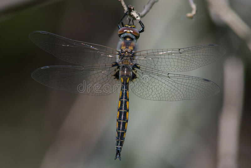 Download Baskettail commun photo stock. Image du anomalie, faune - 45360346