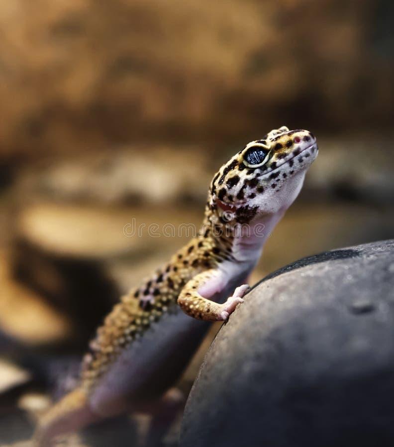 Basking στο gecko πετρών στοκ φωτογραφίες με δικαίωμα ελεύθερης χρήσης