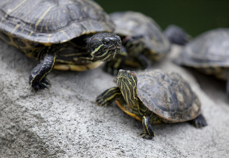 basking черепахи группы стоковая фотография rf