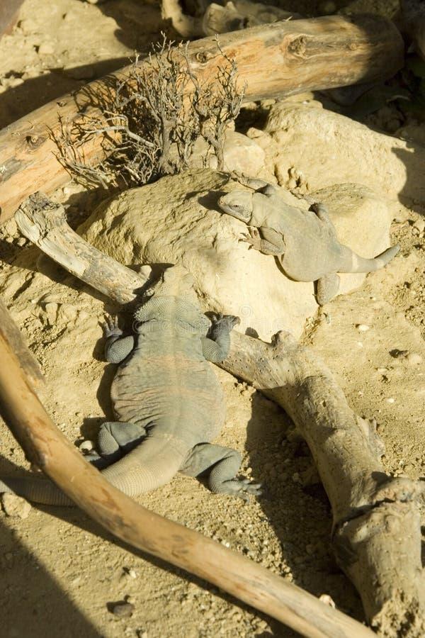 basking ящерицы греют на солнце 2 стоковая фотография rf