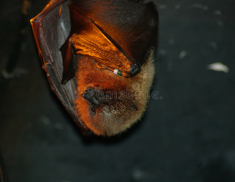 Download Basking Bat stock image. Image of bats, insectivore, angry - 170049