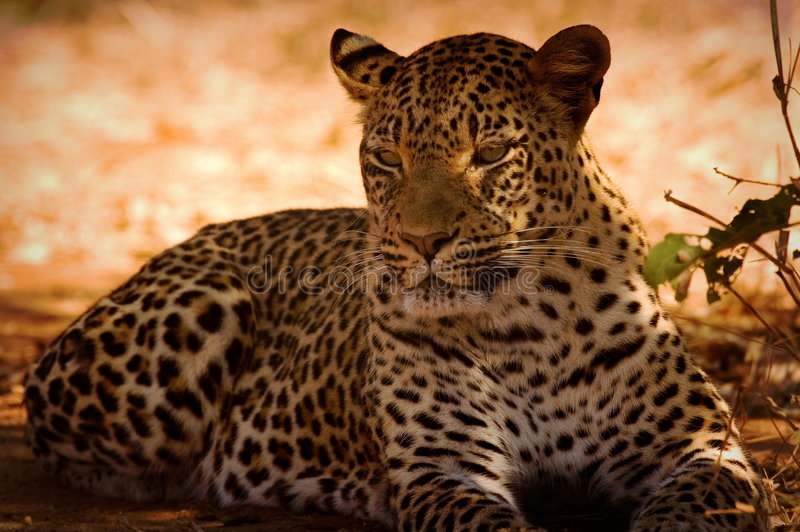 basking leopard στοκ εικόνες με δικαίωμα ελεύθερης χρήσης